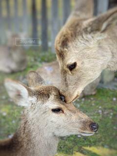 奈良の仲良しな鹿さんです。の写真・画像素材[4629372]