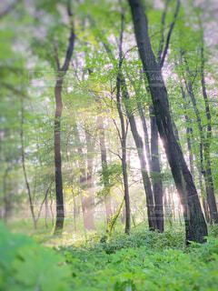 自然,森林,屋外,葉,日光,霧,光,草,樹木,新緑,木立,朝,朝陽,草木,ウッドランド