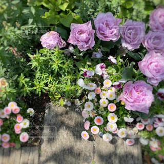 花,屋外,ピンク,緑,白,紫,バラ,景色,影,光,薔薇,新緑,デイジー,小径,草木,ガーデン