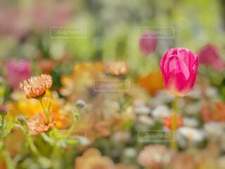 花,花畑,庭,フラワー,花びら,チューリップ,ガーデン,ブルーム,フローラ,草本植物