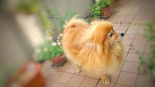犬,花,動物,ポメラニアン,植物,かわいい,茶色,ベランダ,オレンジ,タイル