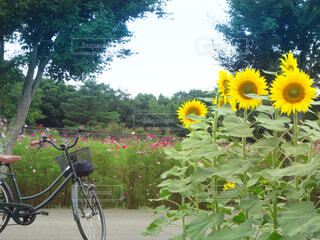 自転車,屋外,ひまわり,コスモス,駐車場,黄色,向日葵,樹木,サイクリング,秋桜,草木,ヒマワリ,こすもす