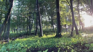 自然,森林,木,屋外,朝日,森,緑,静寂,静か,散歩,光,草,日の光,樹木,木立,草木