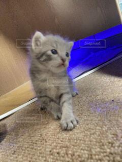 モデル,猫,動物,屋内,かわいい,ふわふわ,床,子猫,仔猫,癒し,こねこ