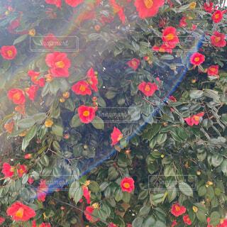 花,赤,フラワー,椿,太陽光,暖かい,ツバキ,カラー,素材,草木,自然光,つばき,加工無し