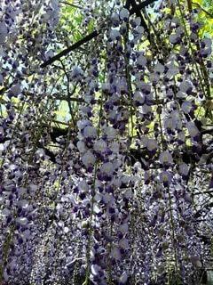 お花のカーテンくぐってみての写真・画像素材[4610330]