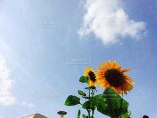 空,花,夏,ひまわり,青空,思い出