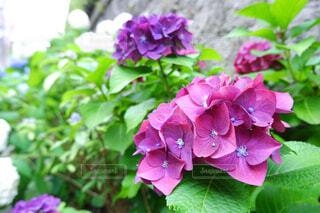 花,屋外,ピンク,紫,紫陽花,癒し,梅雨,草木,赤紫,アジサイ