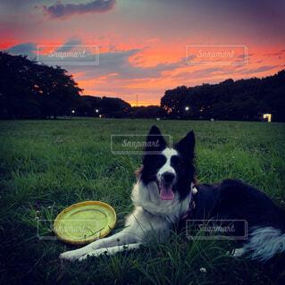 犬,空,動物,屋外,白,雲,夕暮れ,景色,草