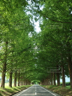 自然,公園,森林,屋外,樹木,初夏,滋賀県,メタセコイア,マキノ