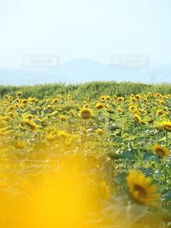 花,ひまわり,黄色,向日葵,琵琶湖,草木,なぎさ公園,パス