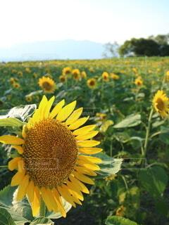 花,ひまわり,向日葵,樹木,初夏,ひまわり畑,琵琶湖,草木