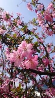 花,屋外,ピンク,樹木,草木,桜の花,さくら,ブルーム,ブロッサム