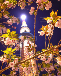 風景,花,桜,夜,絶景,東京,ピンク,かわいい,きれい,スカイツリー,夜桜,ぼかし,美しい,ライトアップ,日本,明るい,野外,点灯,室外