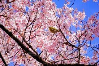 空,花,春,屋外,ピンク,樹木,メジロ,カラー,草木,桜の花,さくら,ブロッサム
