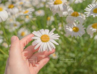 花,夏,晴れ,人物,人,デイジー,出会い,草木