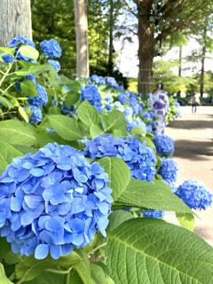 自然,風景,花,屋外,植物,晴れ,青,フラワー,葉,季節,景色,花びら,青い花,樹木,紫陽花,ブルー,flower,初夏,梅雨,6月,青い,青紫,草木,7月,アジサイ,ガーデン,インスタ映え