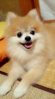 犬,動物,ポメラニアン,屋内,かわいい,床,室内犬,小型犬,ニコニコ,犬のいる暮らし,オレンジ犬
