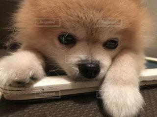 眠たい犬の写真・画像素材[4615916]