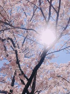 さくらと太陽の写真・画像素材[4616759]