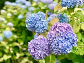 紫陽花のアップの写真・画像素材[4616825]