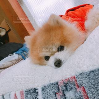 犬,飲み物,動物,ポメラニアン,屋内,赤,かわいい,オレンジ,皿,布,寝る,お昼寝,愛犬,おねむ,眠たい,室内犬,小型犬,ライフスタイル,愛犬家,犬のいる暮らし