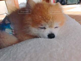 寝てる犬の写真・画像素材[4617635]