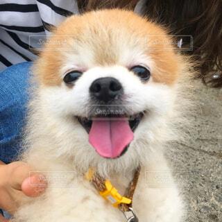 犬,動物,ポメラニアン,白,かわいい,散歩,笑顔,お座り,室内犬,小型犬,カメラ目線,舌,ライフスタイル,ニコニコ,犬のいる暮らし,前略笑顔