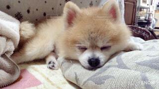 犬,動物,ポメラニアン,屋内,かわいい,景色,寝る,子犬,愛犬,眠たい,小型犬,こたつ,寝具,ベッド,愛犬家,寝床,寝てる犬