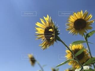 青空と向日葵の写真・画像素材[4683590]