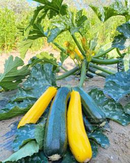 食べ物,風景,緑,黄色,野菜,家庭菜園,農業,ズッキーニ