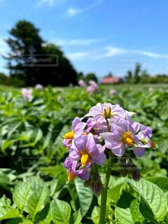 食べ物,風景,花,夏,屋外,緑,青空,紫,野菜,家庭菜園,農業,草木,旬,じゃがいも,きたあかり