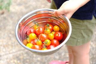 収穫したトマトたちの写真・画像素材[4654617]