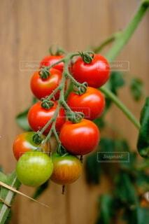 家庭菜園で育てたミニトマトの写真・画像素材[4654920]