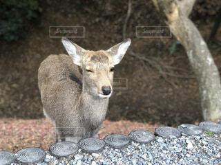 動物,木,屋外,かわいい,晴れ,散歩,旅行,鹿,生物,地面,毛,肉,材料,石,生き物,餌,シカ,素材,毛皮,野生,子鹿,画像,ウインク,Wink,えさ,神の遣い,奈良奈良公園