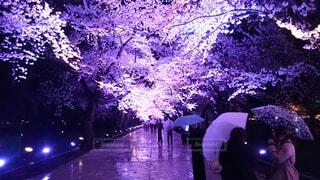 自然,桜,傘,屋外,夜桜,樹木