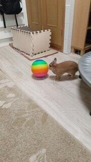 動物,屋内,ペット,ウサギ