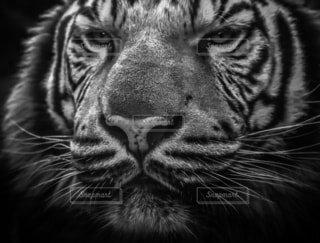 猫,動物,景色,顔,目,見つめる,ライオン,ヒョウ,髭,ネコ科,探す,タイガー,黒と白