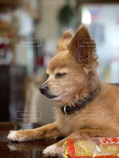 犬,動物,屋内,かわいい