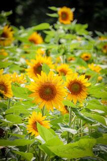 光り輝く向日葵の写真・画像素材[4623019]