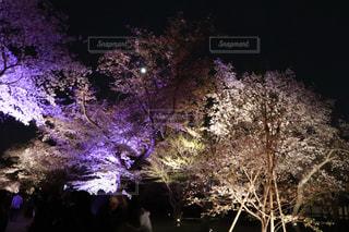 桜,京都,世界遺産,イルミネーション,ライトアップ,二条城,4月1日,エイプリルフール