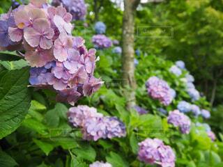 花,春,屋外,あじさい,ラベンダー,樹木,紫陽花,お寺,梅雨,長谷寺,草木,アジサイ,フローラ