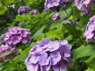 花,屋外,植物,あじさい,紫陽花,梅雨,長谷寺,草木,アジサイ,ガーデン,フローラ