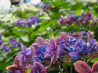 花,春,あじさい,紫,ラベンダー,紫陽花,ライラック,梅雨,草木,ブルーム,フローラ