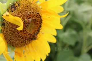 花,ひまわり,黄色,蜂,草木,花粉,フローラ