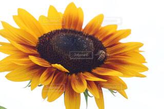 花,ひまわり,黄色,蜂,草木,花粉,ヒマワリの種,アフリカ デイジー,キク目
