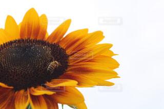 花,ひまわり,草木,花粉