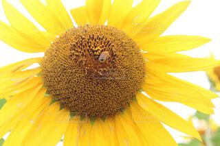 花,ひまわり,黄色,蜂,草木,花粉