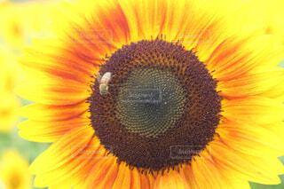 花,ひまわり,蜂,草木,花粉