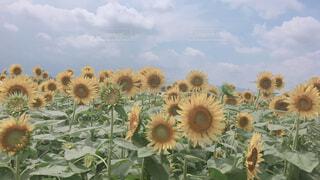 花,夏,ひまわり,ひまわり畑,景観,草木,キク目